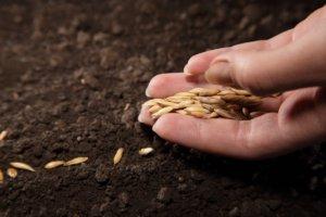 Так выглядят подготовленные семена