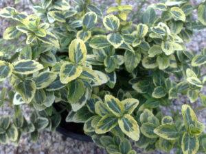 Прекрасное растение  - бересклет