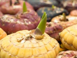 Проращивание луковиц гладиолусов