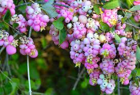 Прекрасные ягодки снежноягодника