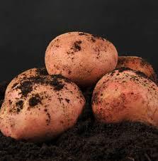 Картофель журавлинка