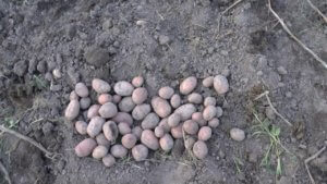 Картофель Бриз: условия выращивания и способы ухода за ним