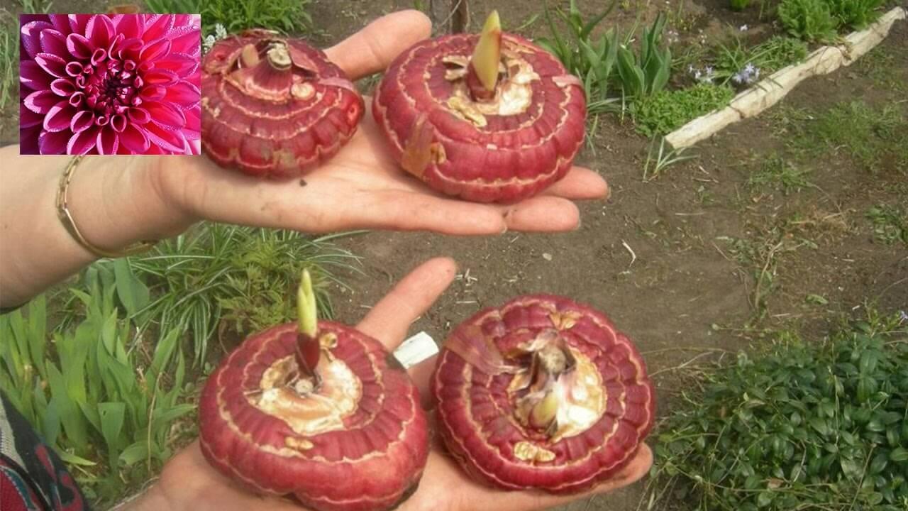 Гладиолусы: как хранить луковицы до следующего сезона  в домашних условиях