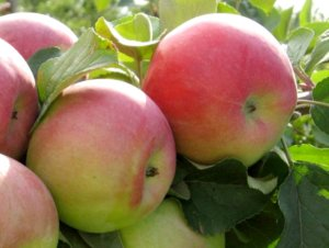 Яблоня родниковая: сорт, произведший фурор в кругах садоводов