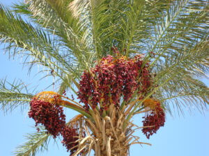Финиковая пальма прекрасна как в домашних условиях, так и на улице
