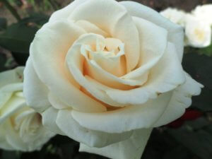 Лат. Rosa