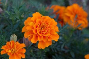 Бархатцы - неприхотливые растения