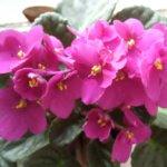 Фиалка Зимняя вишня: основы ухода, хитрости в цветении
