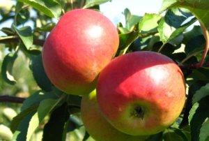 Плоды яблони родниковой