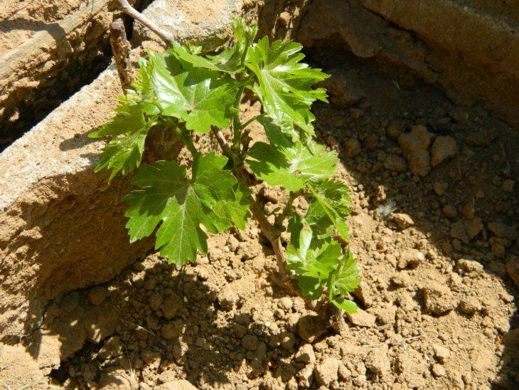 Здоровый кустик винограда
