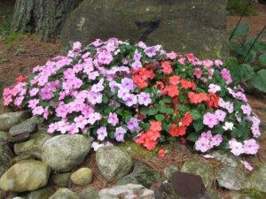 Болезни бальзамина и возможные вредители: как от них избавиться и защитить растение