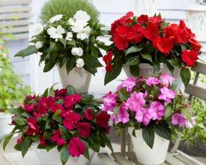 Яркое цветение бальзамина