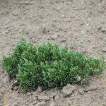 Как выращивать можжевельник «Блю Форест»?