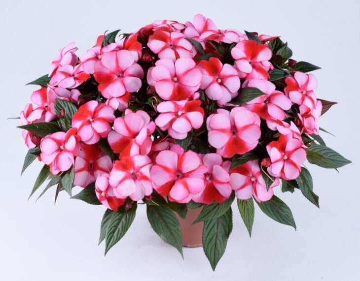 Полностью здоровое цветение бальзамина