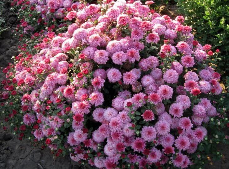 Цветения на клумбе
