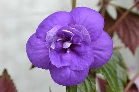 Цветение Ахименеса