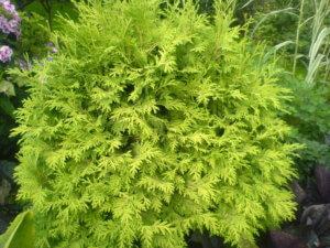 Прекрасная зелень туи