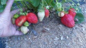 Клубника Альба: отзывы садоводов
