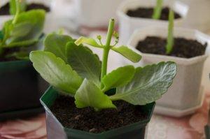 Растение после прищипки