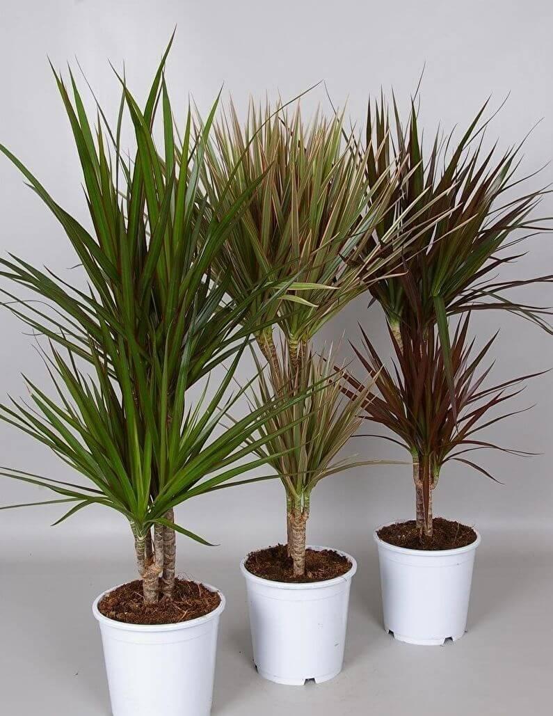 Драцена: основные болезни листьев растения