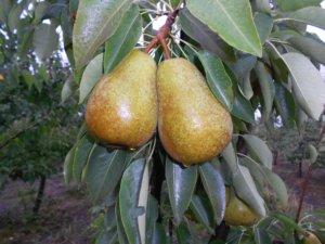 При правильном уходе плоды появятся очень быстро