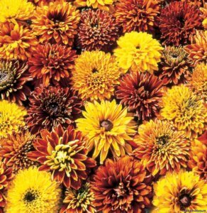Золотистая махровая рудбекия: любительница всех садоводов