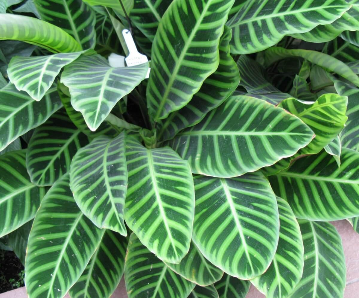 Строманта: сохнут листья, что делать, как осуществлять правильно уход и какие бывают разновидности