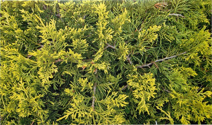 Лат. Juniperus media pfitzeriana Old Gold