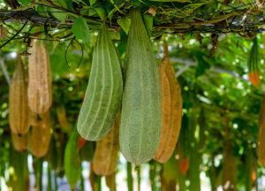 Люффа – это тропическая лиана: основные характеристики