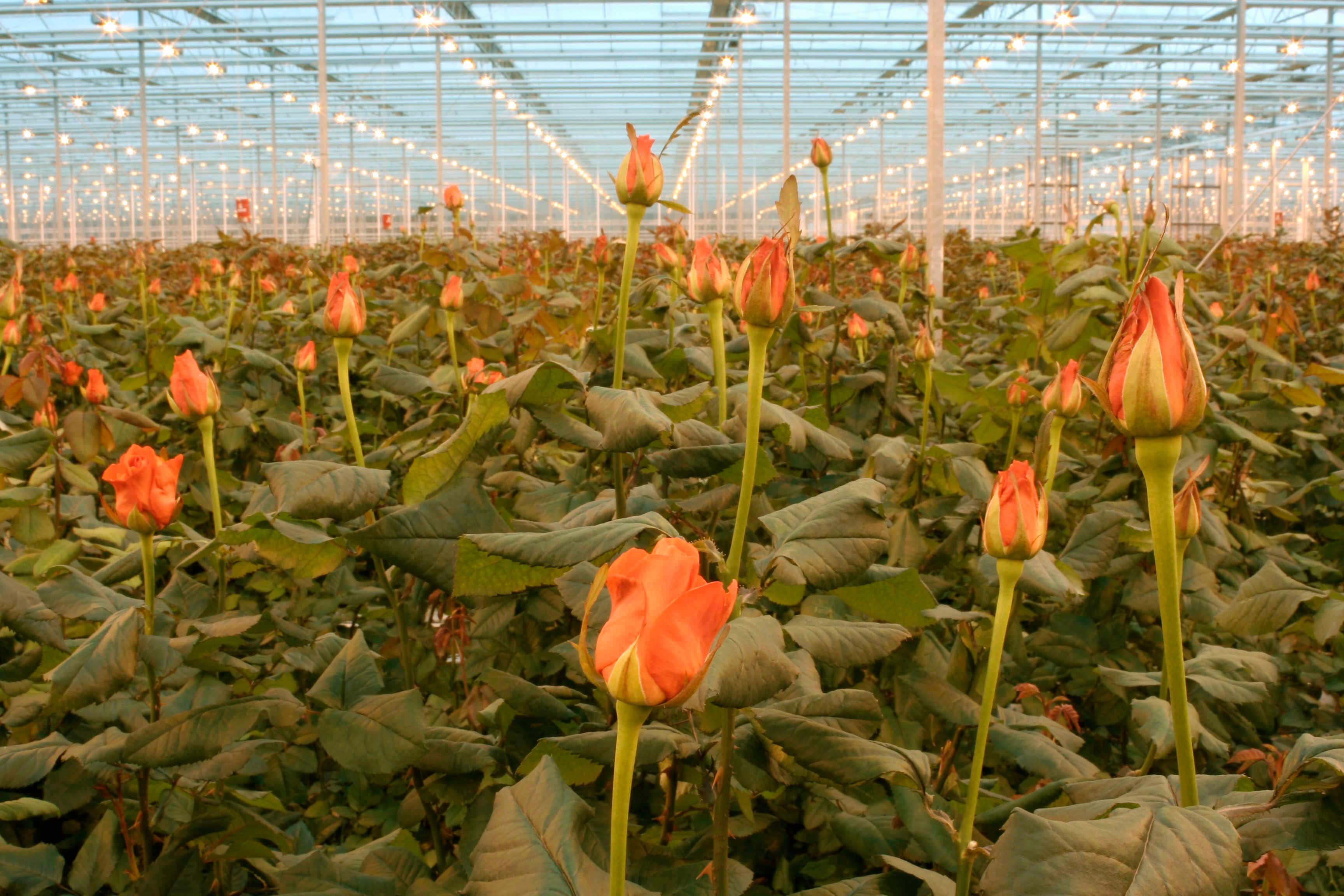 Как хранить розы чтобы долго стояли: советы от садоводов