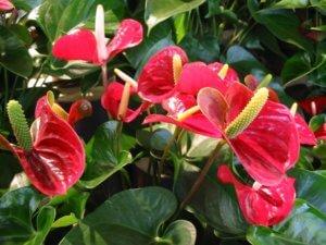 Как рассадить антуриум: способы размножения