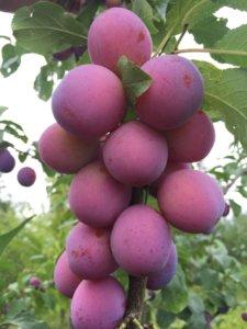 Отличный урожай сливы в саду