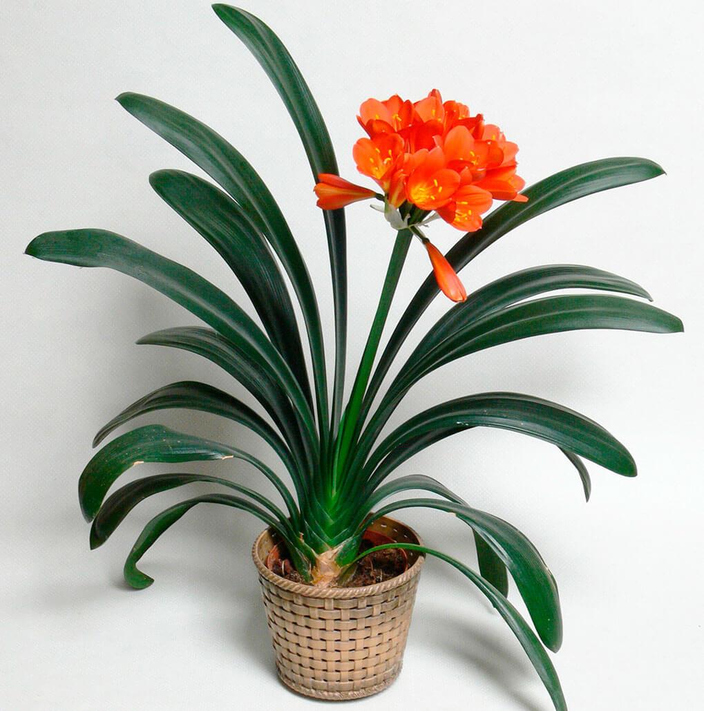 Как ухаживать за кливией в домашних условиях: полезная информация для многих цветоводов