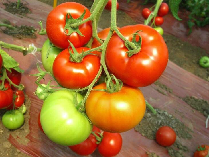 Прекрасный урожай томатов
