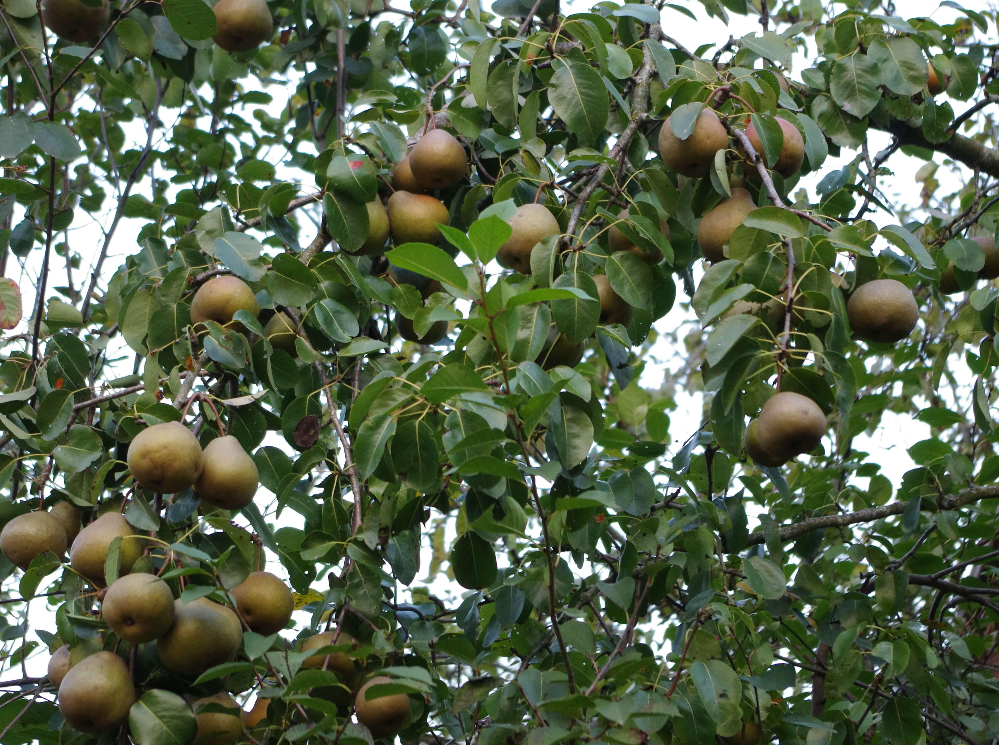 Груша Просто Мария: отзывы и правила выращивания