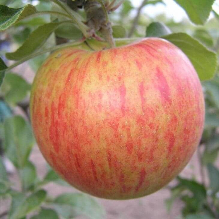 Урожай яблок Орлинка очень богат