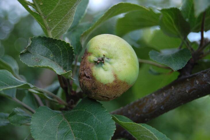 Плоды яблони, пораженные ожогом