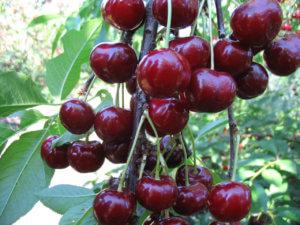 Вишня радонеж: золотые правила грамотного ухода за морозостойким деревом