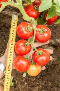 Такой вид томатов подойдет каждого сада