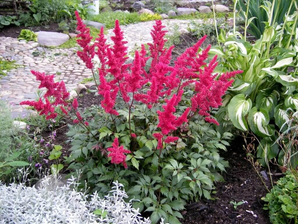 Астильба из семян в домашних условиях: основы культивирования