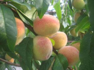 Поспевание персиков