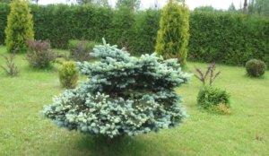 Советы и описание процесса как пересадить ель из леса на участок самостоятельно