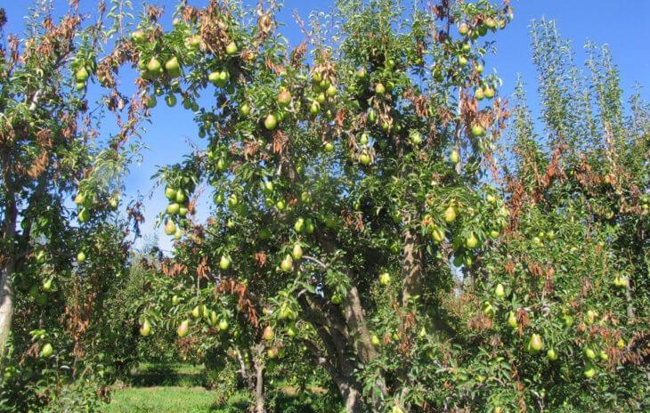 Пораженное дерево яблони