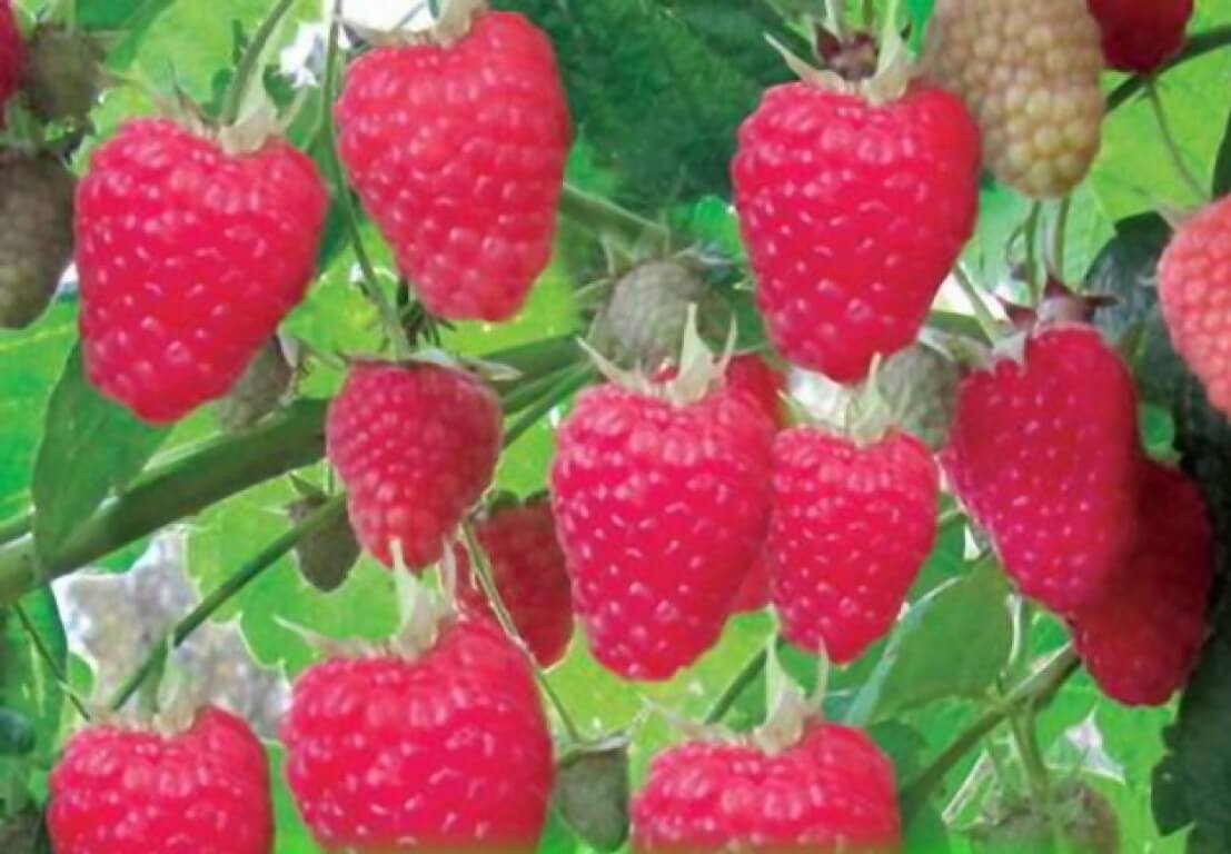 Малина Полесье: особенности выращивания