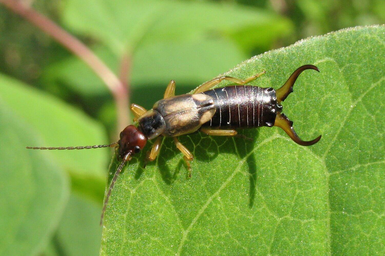Двухвостка: насекомое и вред от него