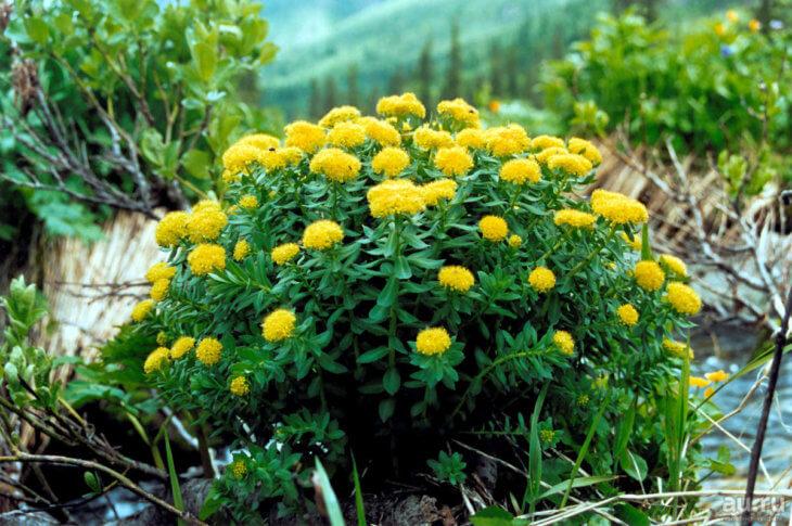 Цветение золотого корня