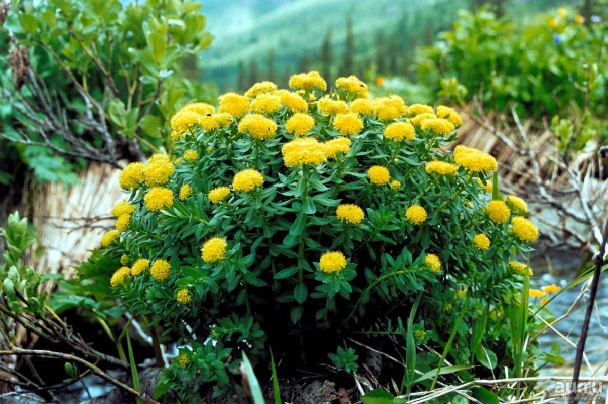Что такое золотой корень и как его выращивать