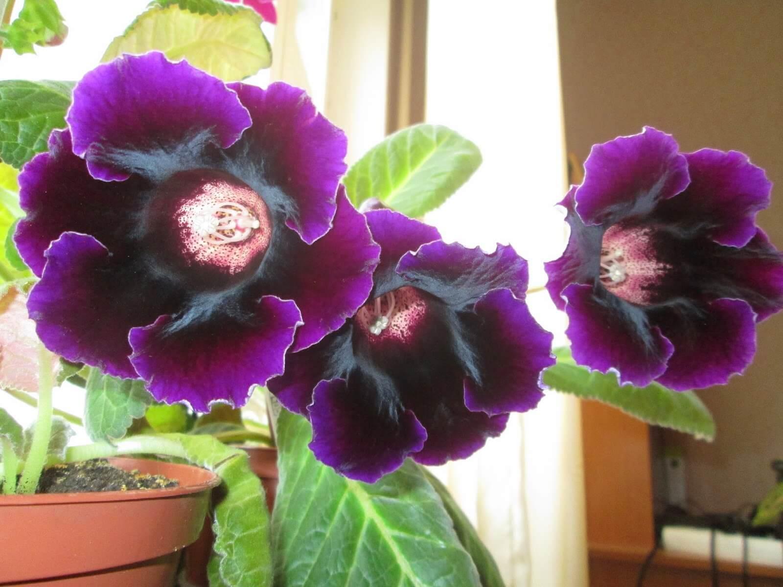 Глоксиния Императрица: как вырастить красавицу