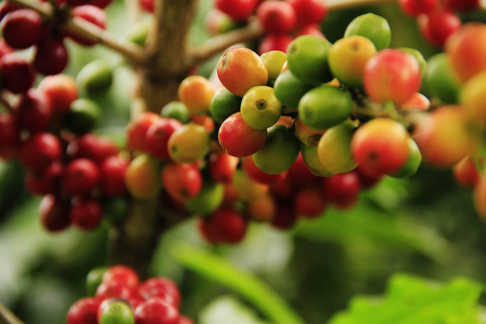 Как растет кофейное дерево: правила выбора и ухода за приобретенным саженцем и возможные проблемы при выращивании
