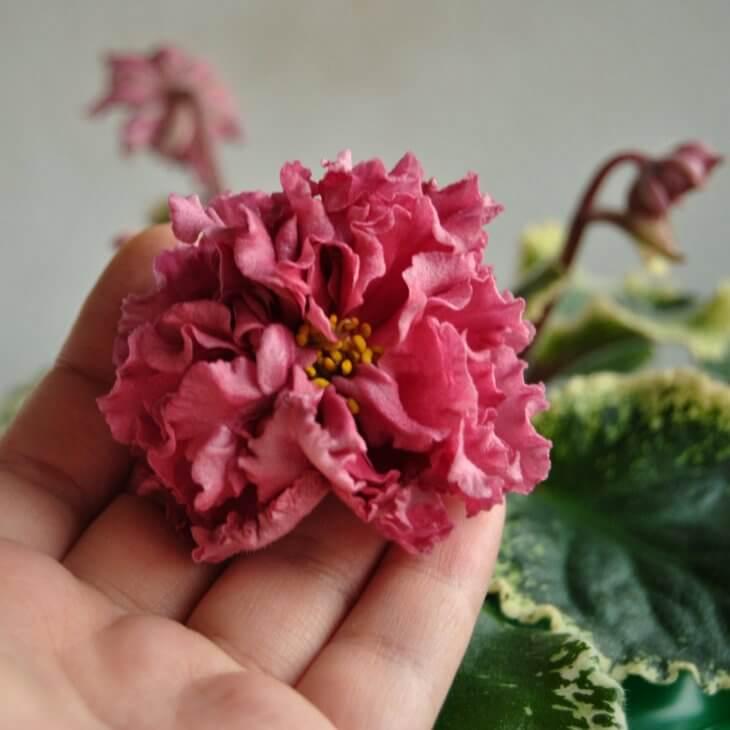 При правильном уходе можно добиться отличного цветения фиалки